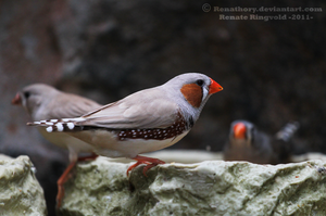 Zebra Finch by Renathory