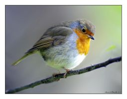 robin red by photoflacky