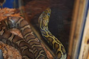 Central American Ratsnake by ManitouWolf