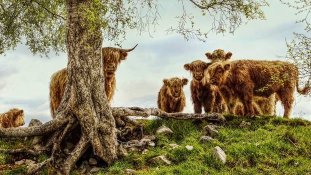 Scottish Highlands Cows by pingallery