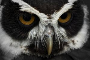 black and white owls eyes by photographybypixie