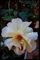 White Flower by PauloOliveira