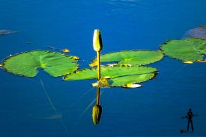 Waterlily by rajjib