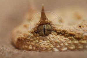 Sahara horned viper detail by InsaneGelfling