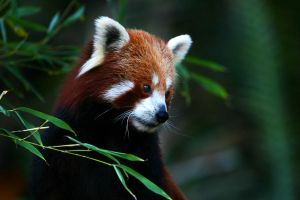 Red Panda by scoot75