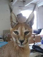 Mounted caracal taxidermy by Museumwinkel