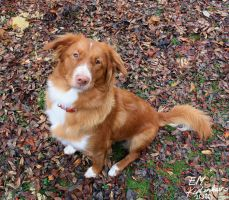 Autumn Toller by Elkenar