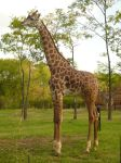 Giraffe by StockChroma