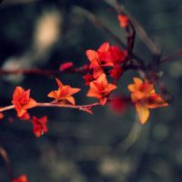 Red Leaves by kbhollo