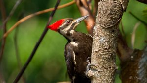 Pileated Woodpecker by Grouper