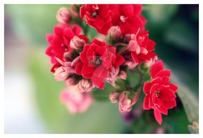 Flower red by trcakir