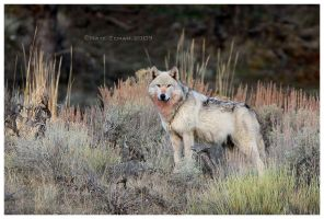 Grey Wolf by Nate-Zeman