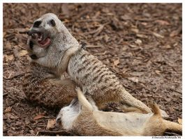Meerkats: Play Fight II by TVD-Photography