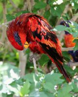 Blue-Streaked Lory by TheSleepyRabbit