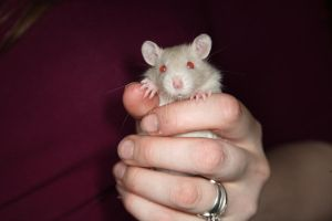 Rat stock - baby rat by NickiStock