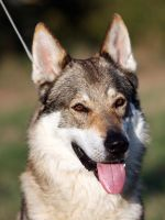 czech wolfdog - Ben 5 by Blondlupina