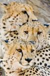 The Cheetah Brothers by pollittpics