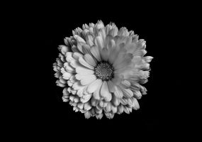 White Flower by tpphotography