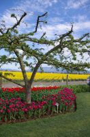 Tulip time 2015 edition by jkrolak