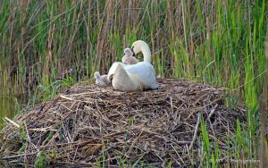 Swan mother with children by MT-Photografien