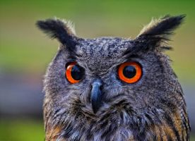 eagle owl_XXX by deoroller