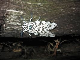 Giant Leopard Moth by CometColt