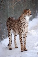 Cheetah in the Snow by decideroffate