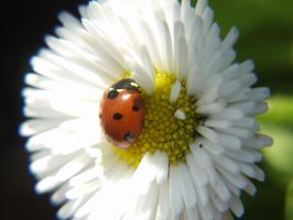 LadyBug on Daisy by vw1956stock