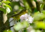 Immature Orange-crowned Warbler by Momenti-Photo