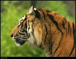 Tiger profile II by Dickie67