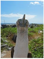 Blue-footed Booby by StormPetral0509