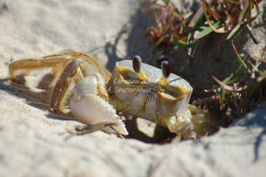 Crabby by C-Williams