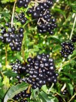 Black Berry Shrub by SweetSoulSister
