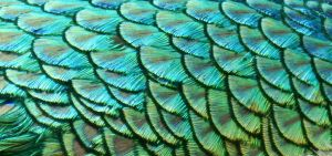 Stock Texture - Peacock Feathers by rockgem
