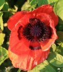 first poppy by GeaAusten