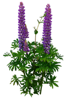 Lupines PNG.. by Alz-Stock-and-Art