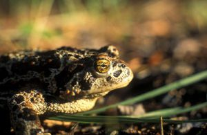 Canadian Toad by vindego