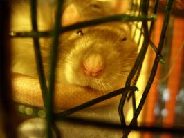 Sleeping Rattus 1 by The-Monstrum