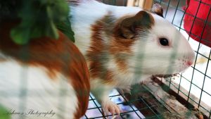 Guinea Pig by ashanphotography
