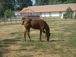 American Quater Foal by Baskia