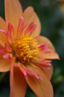 Tropical Colored Dahlia by SerenieBeany