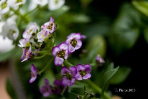Purple and White Alyssum by thriftyredhead