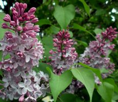Lilac clusters by fosspathei