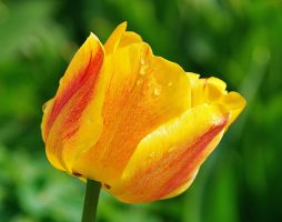 A tulip by starykocur