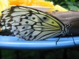 Butterfly 0148 by jinzou-photo