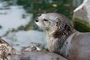 American River Otter by Tinap