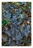 Frosted Leaves by neoweb