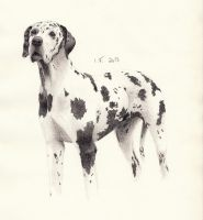 Harlequin Great Dane by whispering-She-Wolf