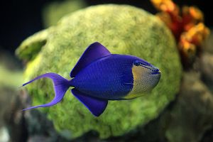 Blue And Yellow Triggerfish by freemax