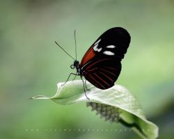 Butterfly 11 by andras120